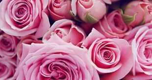 Which Type Of Rose Are You? Quick! Find Out!